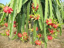 Kỹ thuật trồng và nhân giống thanh long ruột đỏ đúng cách