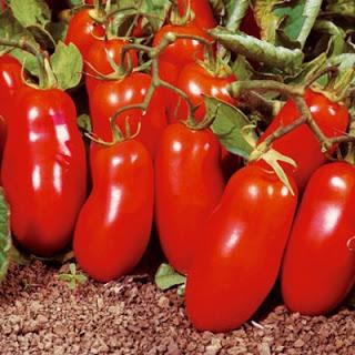 Những giống cà chua độ lạ, hái ra tiền của nông dân Việt