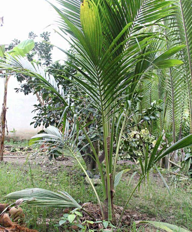 Kinh nghiệm trồng và nhân giống dừa sáp Trà Vinh