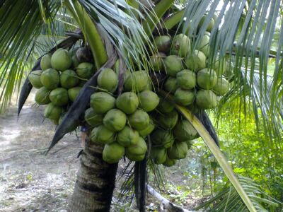 Chuyên canh, kỹ thuật trồng dừa dứa dúng cách năng suất cao