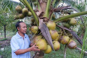Nguồn gốc dừa sáp đặc sản cầu kè trà vinh