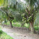 Bán cây giống Dừa Sáp Bến Tre