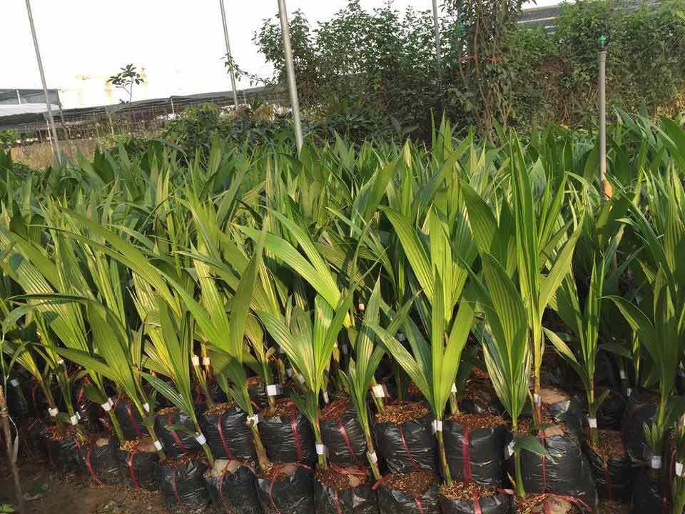 Chuyên sỉ lẻ cây giống dừa sáp giá gốc tại Vĩnh Long