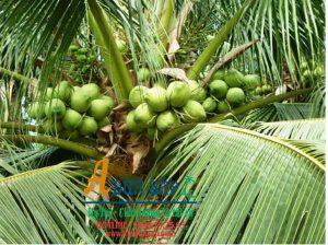 Dừa sáp là gì nơi bán dừa sáp uy tín