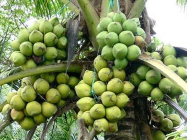 Đại Lý cây giống Dừa Sáp Tiền Giang