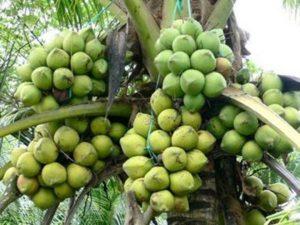 Đại Lý cây giống Dừa Sáp Trà Vinh