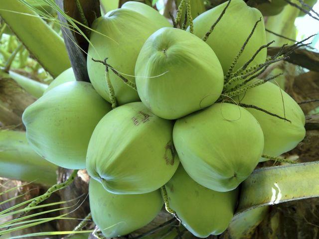 Bán cây giống Dừa Sáp tại Bến Tre