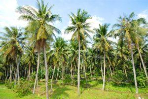 Cây giống Dừa Sáp