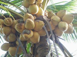 Chuyên cung cấp giá sỉ giống cây Dừa Sáp