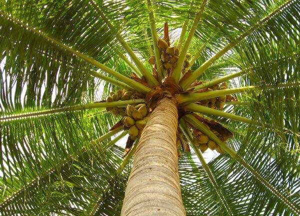 Phân phối giống cây Cà Mau