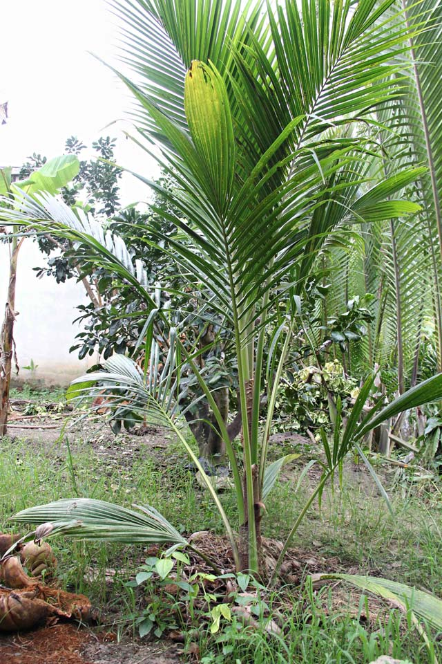 Giống Dừa Sáp tại Vĩnh Long