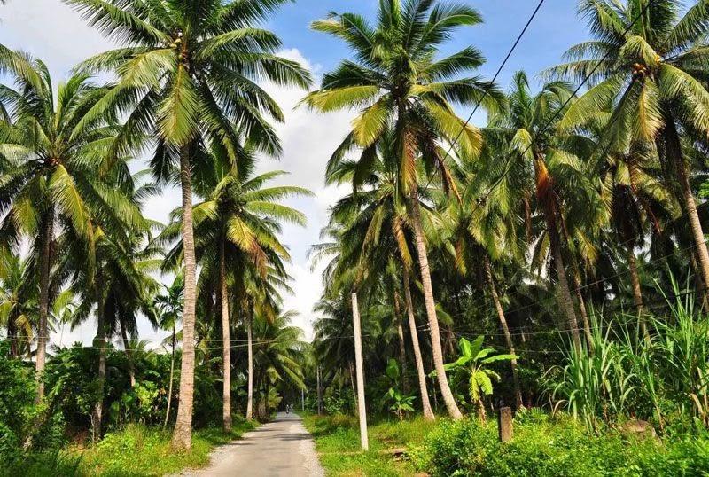 Chuyên cung cấp sỉ lẻ cây dừa sáp cấy phôi Cầu Kè Trà Vinh