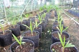 Phân phối sỉ lẻ cây giống dừa sáp giá gốc tại Trà Vinh