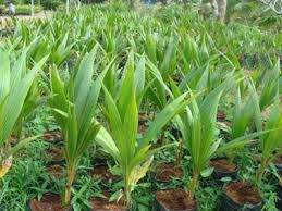 Trại cây giống dừa sáp giá gốc tại Bến Tre