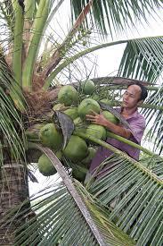 Đại Lý cây giống Dừa Sáp chính gốc