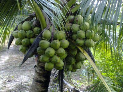 Chuyên cung cấp cây giống dừa dứa giá rẻ tại huyện Cầu Ngang, Trà Vinh.