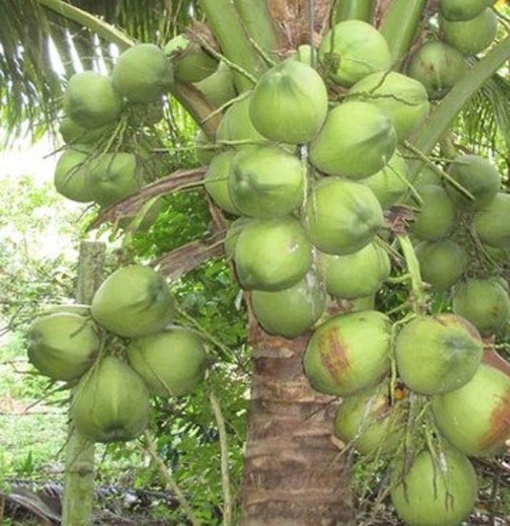 Đặc sản dừa sáp