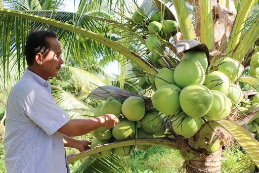 Chuyên cung cấp cây giống dừa xiêm lùn  giá rẻ tại huyện Duyên Hải, Trà Vinh.