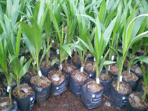 Chuyên cung cấp cây giống dừa xiêm lùn giá rẻ tại huyện Tiểu Cần, Trà Vinh.