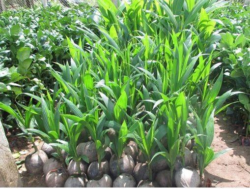 Chuyên cung cấp cây giống dừa dứa giá rẻ tại huyện Trà Cú, Trà Vinh.