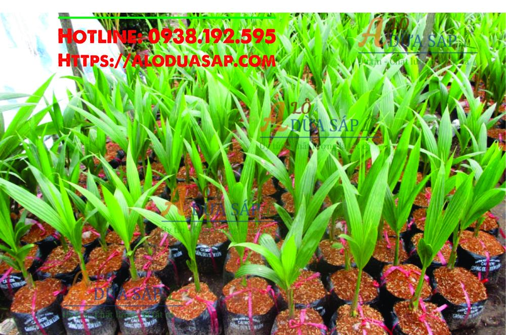 Chuyên cung cấp giống dừa xiêm lùn uy tín chất lượng tại huyện Tiểu Cần Trà Vinh