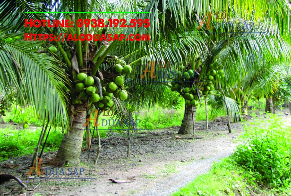 Cung cấp giống dừa xiêm lùn uy tín chất lượng tại huyện Tiểu Cần Trà Vinh