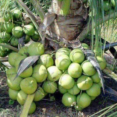 Chuyên cung cấp cây giống dừa xiêm lùn giá rẻ tại huyện Châu Thành, Trà Vinh.