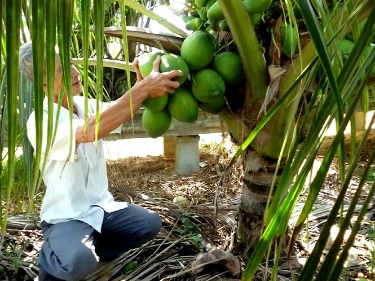 Chuyên cung cấp cây giống dừa dứa giá rẻ tại huyện Tiểu Cần, Trà Vinh.