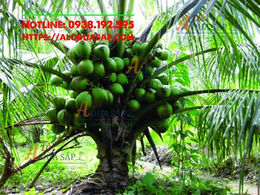 Địa chỉ cung cấp giống dừa xiêm lùn uy tín chất lượng tại huyện Tiểu Cần Trà Vinh