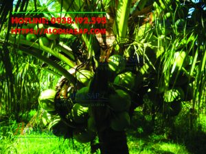 Dừa dứa dễ trồng và năng xuất cao tại Huyện Cầu Ngang Trà Vinh