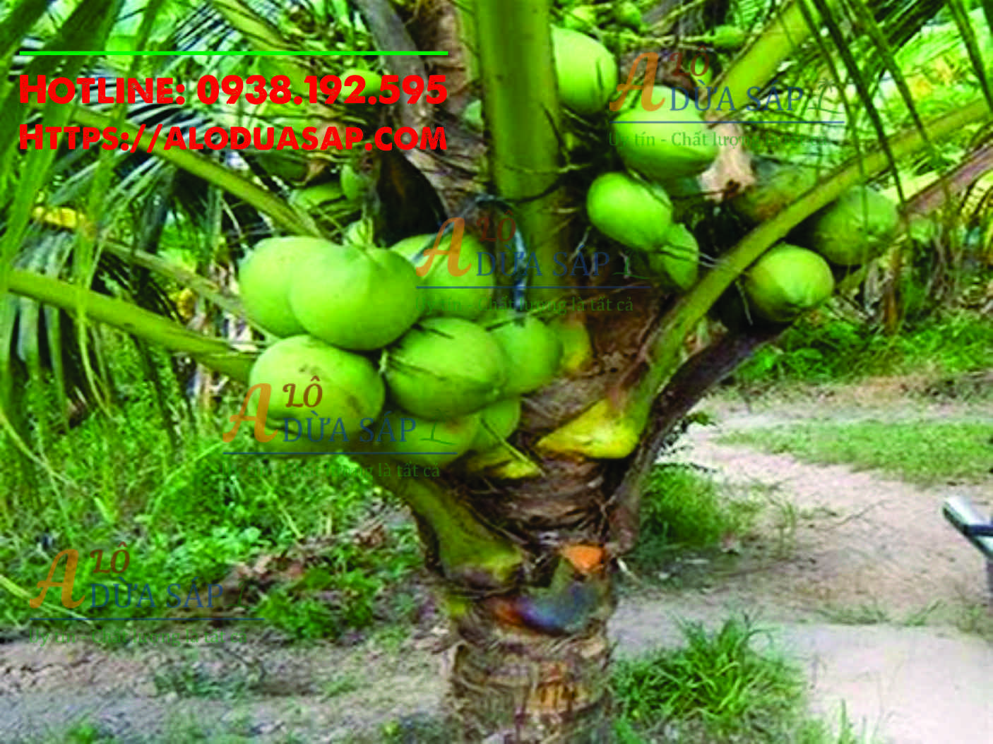 Công dụng tuyệt vời cây dừa dứa tại Huyện Trà Cú Trà Vinh