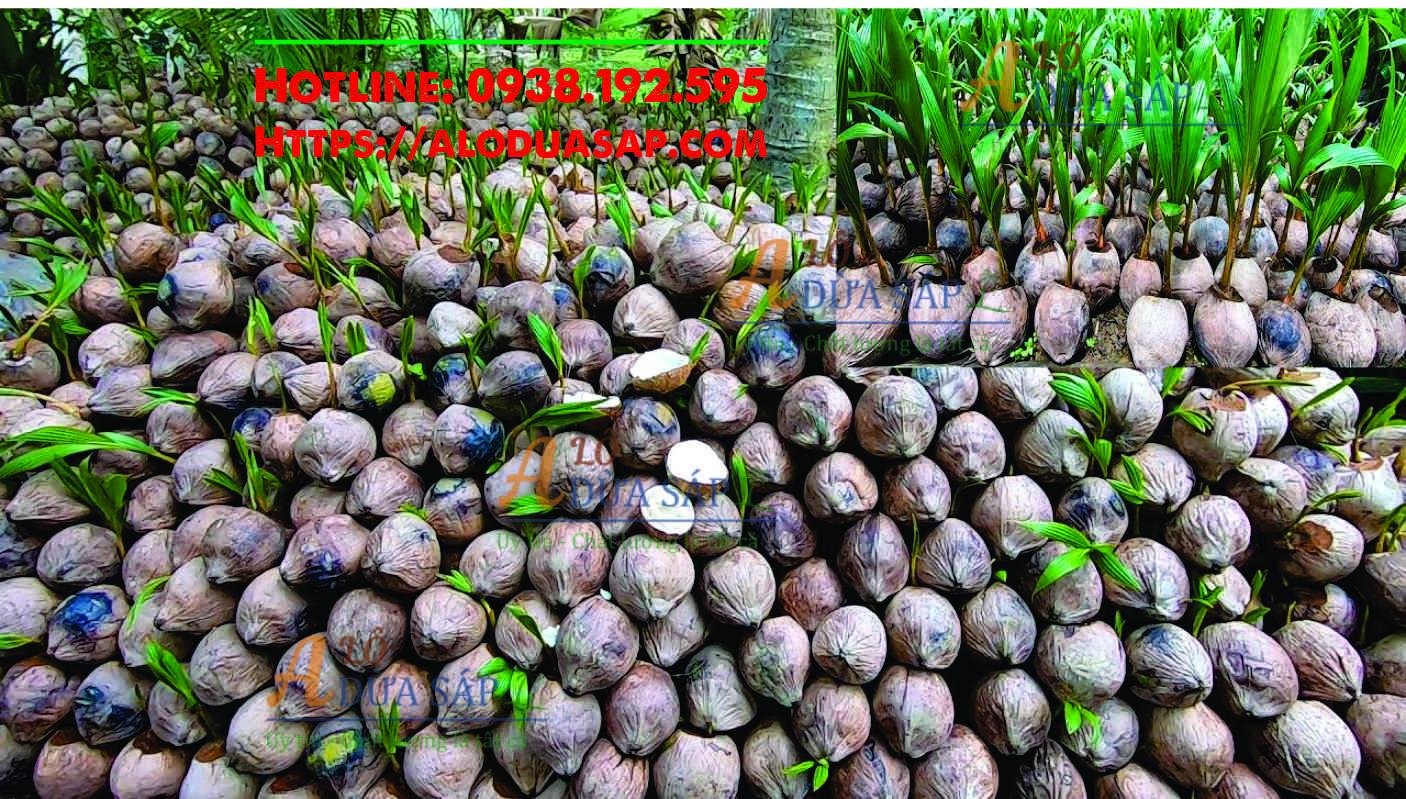 Vựa ươm giống cây dừa dứa tại Huyện Trà Cú Trà Vinh