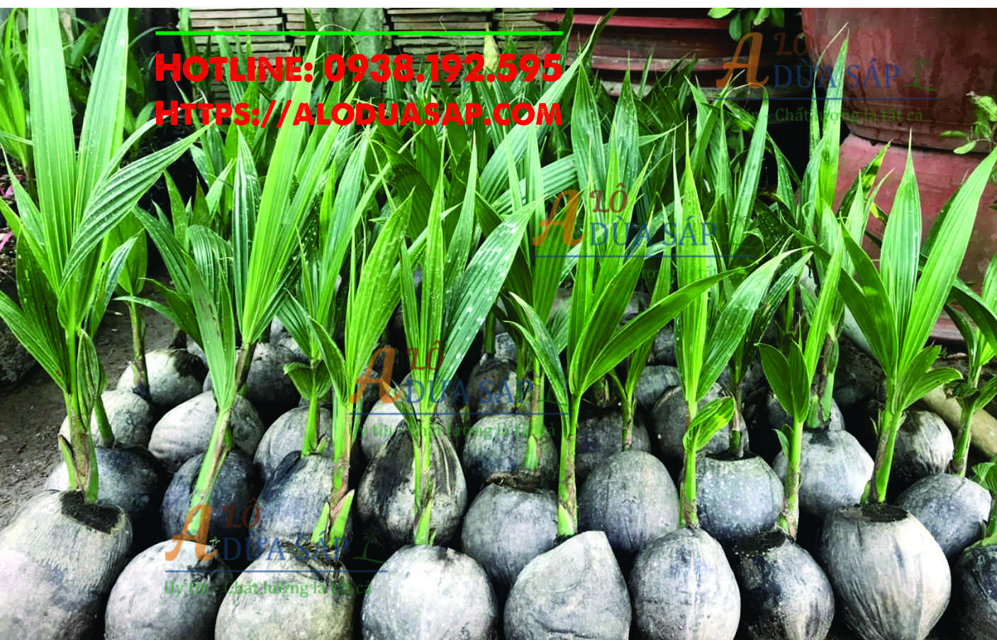 Những lưu ý khi trồng cây dừa dứa tại Huyện Trà Cú Trà Vinh