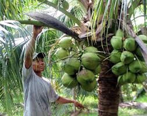 Chuyên cung cấp cây giống dừa xiêm lùn giá rẻ huyện Càng Long tại Trà Vinh