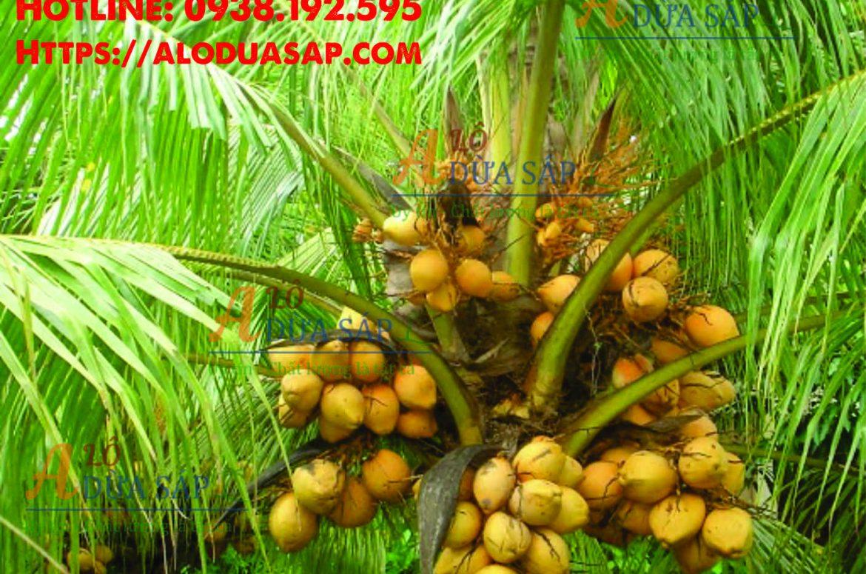 Chuyên cung cấp cây giống dừa xiêm lùn giá rẻ tại huyện Duyên Hải – Trà Vinh