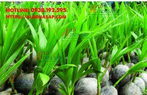 Nơi cung cấp cây giống dừa dứa giá rẻ tại huyện Càng Long Trà Vinh