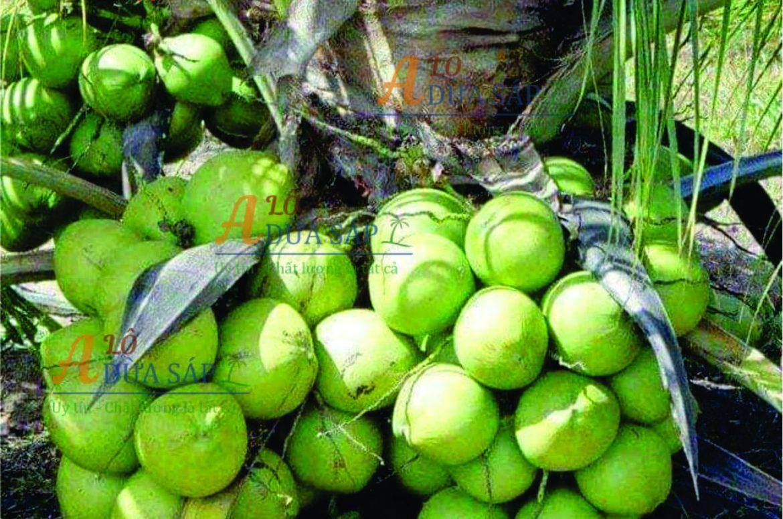 Chuyên cung cấp cây giống dừa dứa giá rẻ tại huyện Trà Cú Trà Vinh