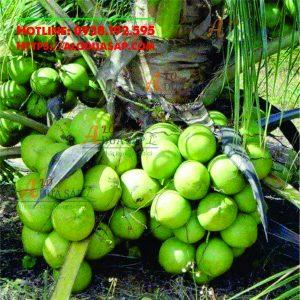 Công dụng cây dừa dứa tại Huyện Trà Cú Trà Vinh