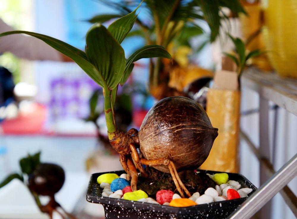 Kỹ thuật chuẩn bị trồng dừa Bonsai