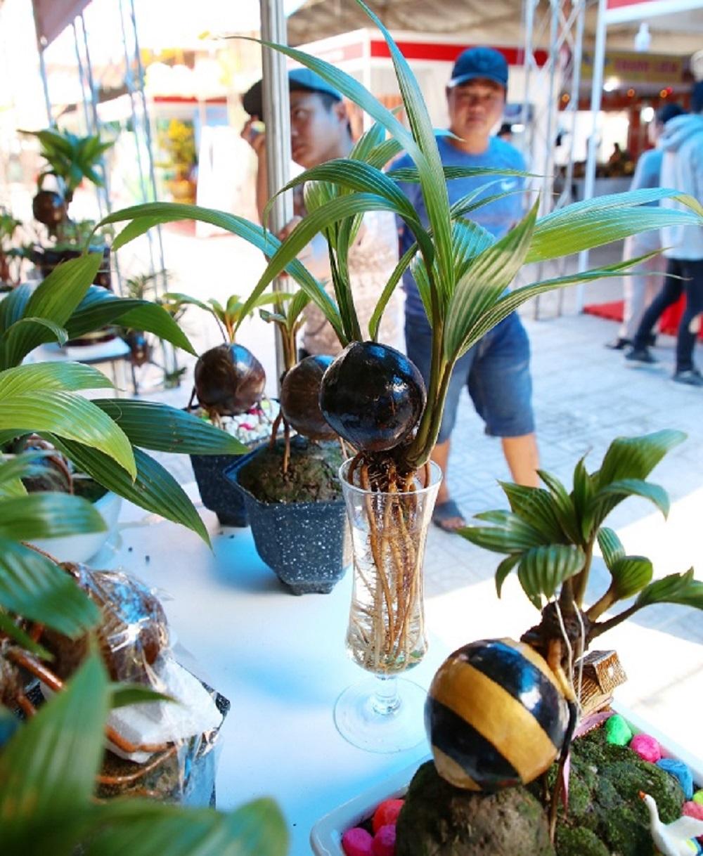Kỹ thuật trồng dừa bonsai đơn giản