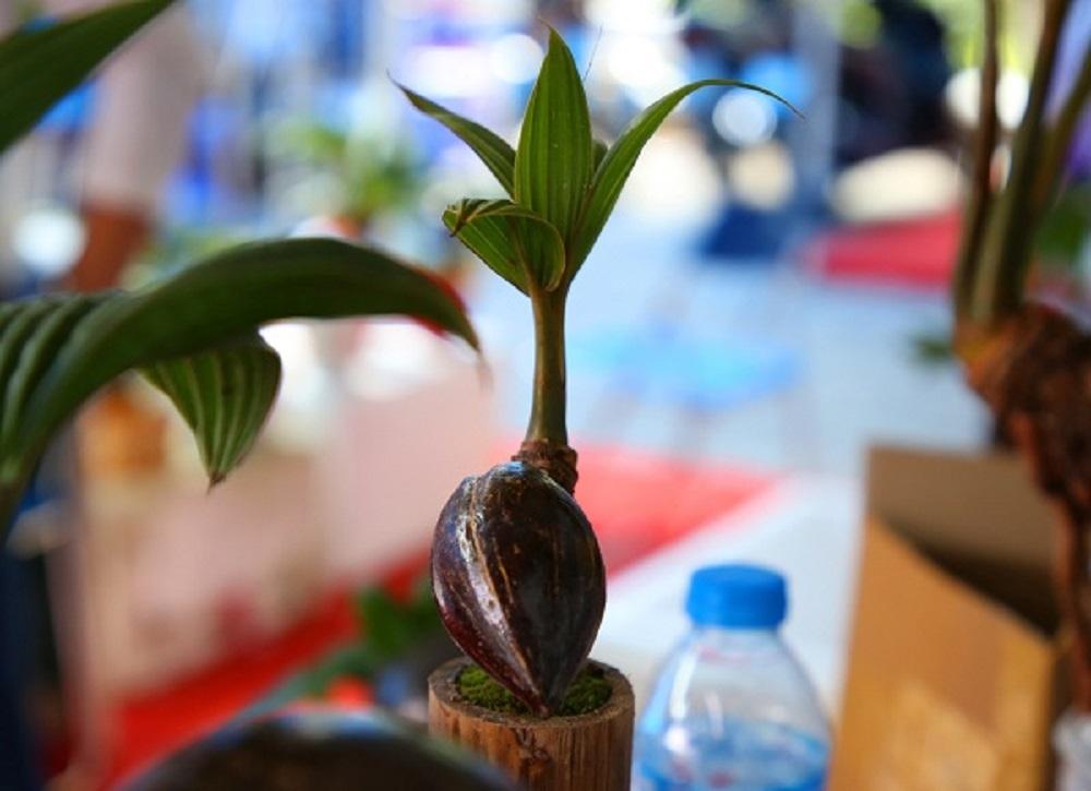 Quy trình chăm sóc dừa bonsai